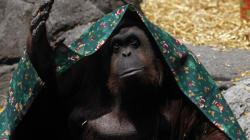 La justice argentine ordonne la libération de ce singe car il est une