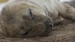 Un phoque récupéré à 30 km de la