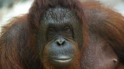 Une femelle orang-outan bénéficie de droits