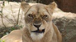 Cette lionne a bien fait rire les