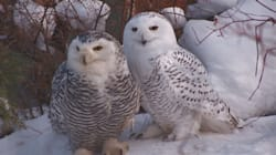 Snowy Owl 'Epidemic' Hits