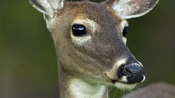 Deer Split In Half By Motorcycle On Ottawa