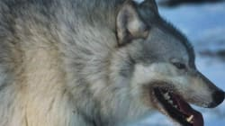 Mixed Messages About Alberta Wolf