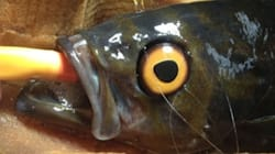 Half-Blind Fish Gets Fake Eye So It Won't Be