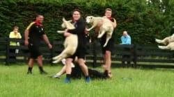 Così si allenano i rugbisti neozelandesi: con le pecore