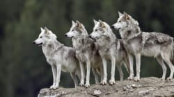 Stop the Brutal Slaughter of Wolves in Alberta and