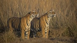 Tiger Population Increases By 30% In