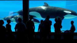 Ontario Unveils Killer Whale Breeding