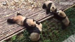 This Panda Brawl Was Better Than The Royal