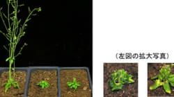 タンパク質『集合と拡散』が草丈を制御