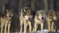 Alberta Wolf Cull Cruel And Unnecessary: