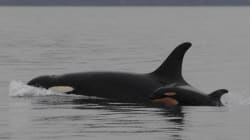 LOOK: 2nd Baby Orca Born To Endangered Pod Off B.C.