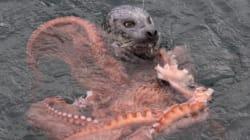 Un combat entre un phoque et une pieuvre géante, ça donne