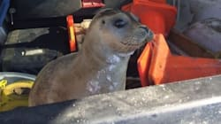 Mounties Rescue Baby Seal 'Waddling' Near A