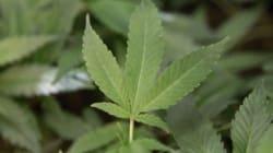 Un nouveau marché de la marijuana médicinale s'installe au