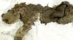 Un bébé rhinocéros laineux vieux de 10 000 ans découvert en