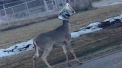 Deer With Bag On Head Gets Help From B.C. Teen's