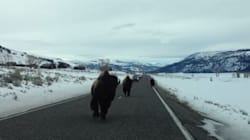 Ce bison va-t-il stopper à temps sa course? [SPOILER: