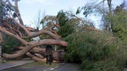 Una sottoscrizione internazionale per ripiantare i pini abbattuti della