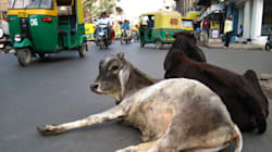 Beef Ban: What Are The Cows Really Getting Out Of