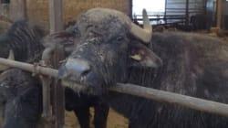 Bufali maschi lasciati morire di fame perché non producono latte