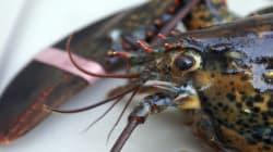 Abondance historique de homards dans le
