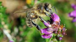 Les abeilles françaises produisent trois fois moins de miel qu'il y a 20