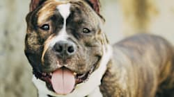 Pour ou contre l'interdiction des pitbulls? Denis Coderre pose la question sur