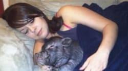 Le cochon domestique, interdit à