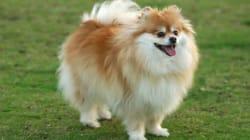 Pomeranian Killed In B.C. Was Stabbed 61