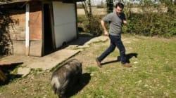 Disturba il maiale del campo Rom per un selfie. Ma lui non ci