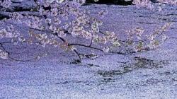 皇居・千鳥ヶ淵の桜が奇跡的に美しい