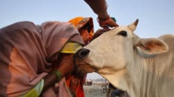 Why Cows Deserve More Protection Than