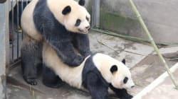 La maratona del sesso del panda