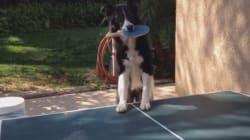 Ce chien joue au ping