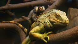 小猿をイグアナがおんぶする仲良し画像