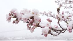 【雪桜】季節外れの冬将軍、可憐な花に恋をした