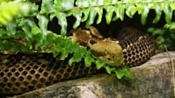 Snake Venom Can Halt Spread Of HIV, Homeopathic Researchers