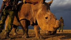 キタシロサイ、地球にたった1匹のオス、24時間体制で守られる