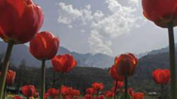 Flower Power: A Walk Through Asia's Largest Tulip