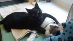 Un «chat infirmier» réconforte les animaux d'un