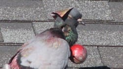 Tortured Pigeon Forced To Wear Bell And Hat In