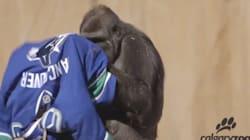Watch What Happens When You Give A Calgary Gorilla A Canucks