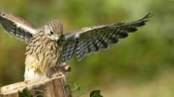 Quell'assurdo sostegno dell'Italia alla falconeria, patrimonio culturale
