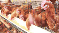 It's Time We Treat Chickens as Animals and Not