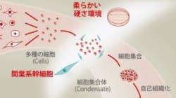 臓器の芽を作製する画期的な培養手法確立
