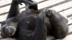 Deux chimpanzés désormais reconnus comme des