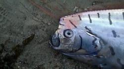Un monstre marin très rare s'échoue sur une plage en