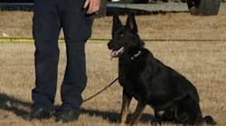 B.C. RCMP Dog Nabs Fleeing Suspect After Woman