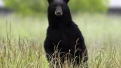 Bear Rockets Through Windshield, Kills